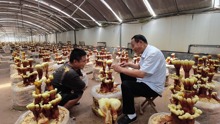 6月3日,冠县店子镇灵芝文化产业园内,董学堂(右一)正在向工作人员讲解修剪技术。.jpg