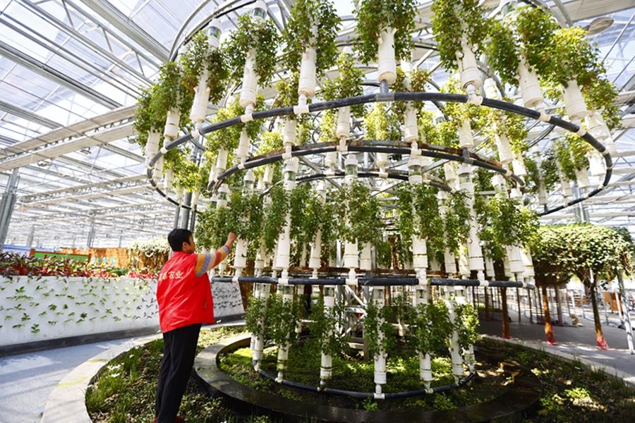 8月24日,员工在莘县中原现代农业嘉年华管理蔬菜。商景豪.jpg
